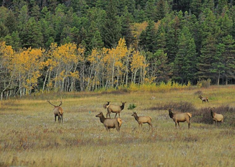 wild elk in michigan